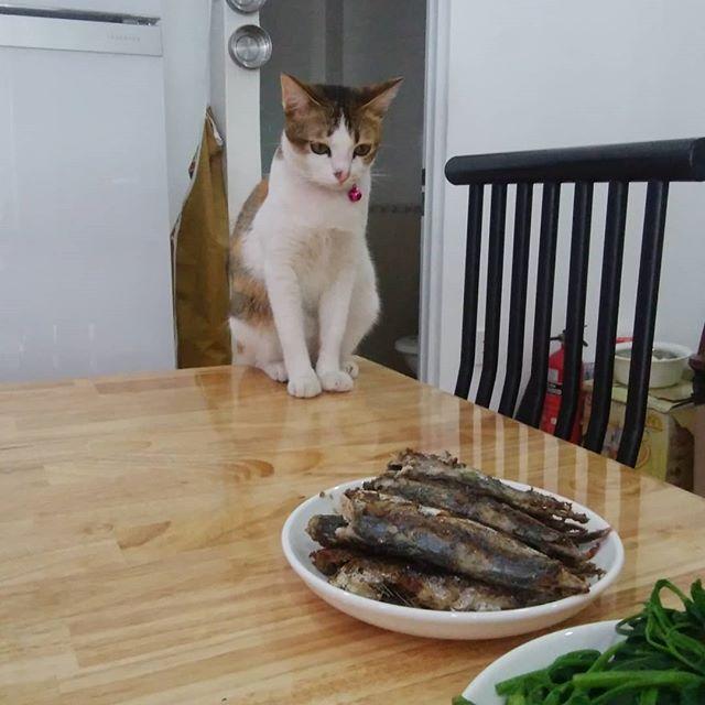 お昼ご飯の魚を狙う。もらえるまで目を離さない。。。.ホーチミンの日本人ゲストハウス兎家(うさぎや)ゲストハウスusagiyah.com.#usagiyah #兎家 #兎家ゲストハウス #うさぎや #日本人宿 #ゲストハウス #ドミトリー #Guesthouse #ベトナム #Vietnam #ホーチミン #バックパッカー #バックパッカー女子 #一人旅 #海外旅行 #旅好きの人と繋がりたい #出会い #ランチ #Mia #猫 #魚 #狙う